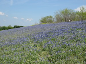 4-19-14 A field of bluebonnets