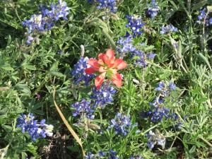 4-19-14 Red bluebonnet